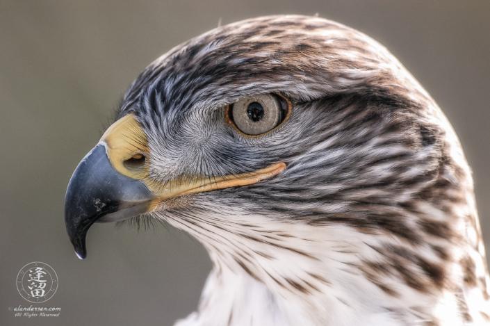 Ferruginous Hawk (Buteo regalis) in profile backlit against soft background.