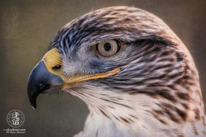 Ferruginous Hawk (Buteo regalis) in profile backlit against textured background.