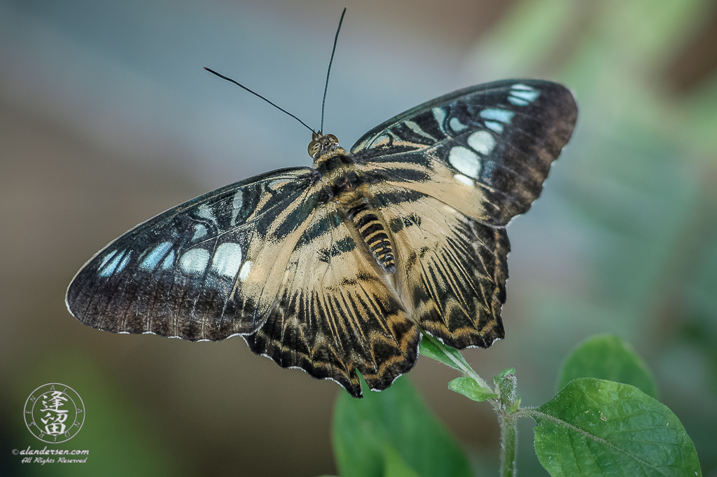 Brown Clipper (Parthenos sylvia) Butterfly with open wings against mottled background.