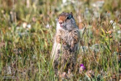 Rock squirrel (Citellus variegatus) standing alert in tall grass.