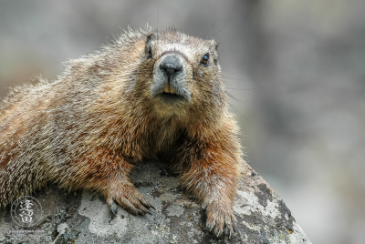 Yellow-bellied marmot (Marmota flaviventris) laying on a rock.