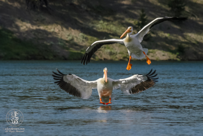 White Pelicans (Pelicans erytthrorhynchos) landing on river.