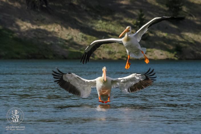 White Pelicans (Pelicans erytthrorhynchos) landing on river.