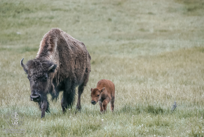 Mother bison (Bison bison) and calf walking through a meadow.