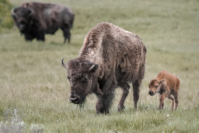 Mother bison (Bison bison) and calf walking through meadow.