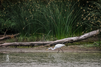 White Egret (Ardea alba) hunting for fish and frogs in algae-covered pond.