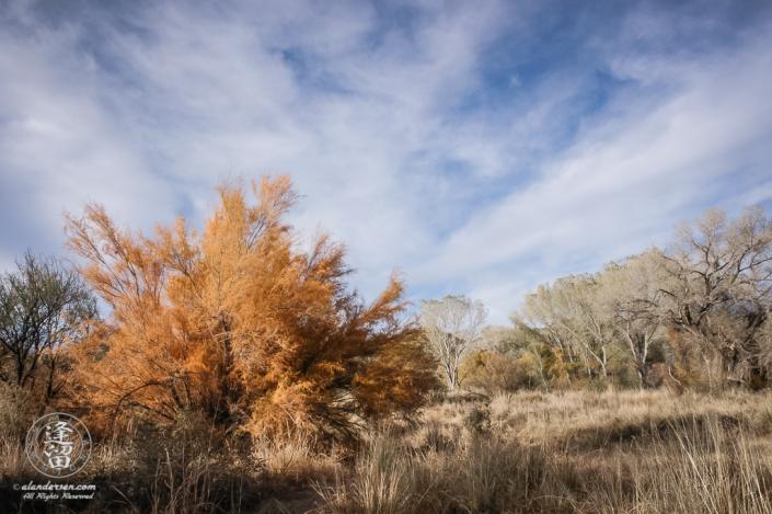 Tamarisk tree turning orange in Autumn.