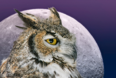 Composite image of Great Horned owl in profile set against a large full moon with pink and blue twilight gradient background.