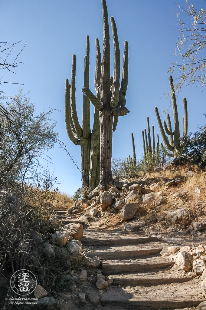 Tall Saguaro (Carnegiea gigantea) cactus at top of hiking steps.