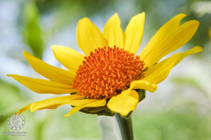 Yellow sunflower with an orange center.