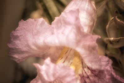 Toned closeup image of lavender-pink Pentstemon-looking flower on Desert Willow (Chilopsis linearis) tree.