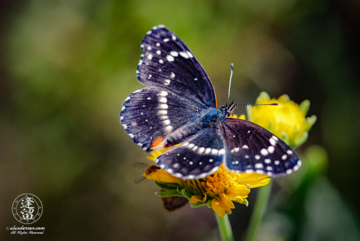 Closeup of Bordered Patch Butterfly sitting on wildflower with spread wings.