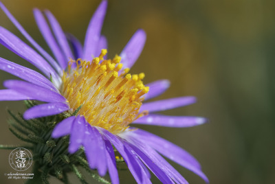 closeup of Purple Aster (Dieteria canescens) in bright morning sunlight.