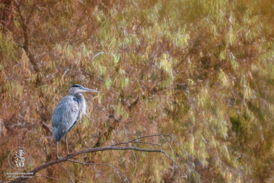 Great Blue Heron (Ardea herodias) perched before yellow Willow leaves.