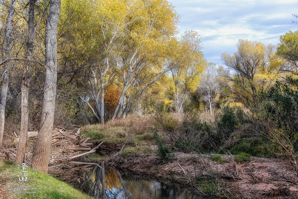 Tall Cottonwood trees adorned with bright yellow Autumnal leaves lean over the San Pedro River on a sunny day at the San Pedro Riparian National Conservation Area outside of Sierra Vista in Arizona.
