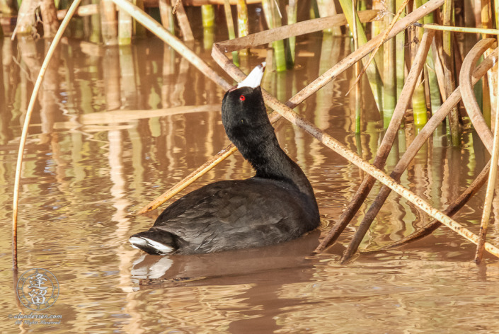American Coot (Fulica americana) looking at tasty morsel above head.