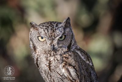 Whiskered Screech Owl (Megascops trichopsis) posing for photographers.