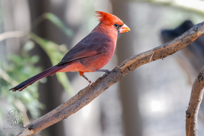 A Northern Cardinal (Cardinalis cardinalis) perched on a branch set against a bright nondescript background.