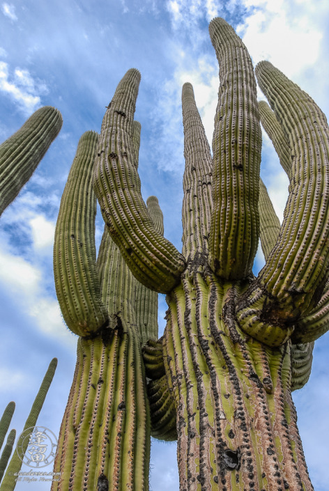 The perspective one sees when looking up at the sky while standing beneath a full-grown Saguaro (Carnegiea gigantea) cactus.