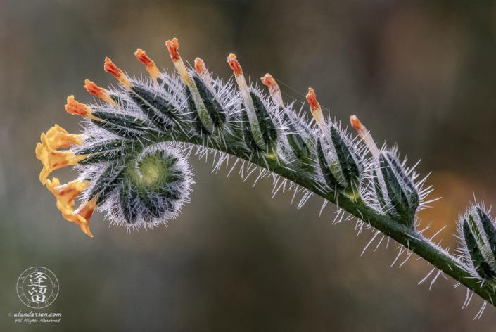 Fiddleneck (Amsinckia) wildflower unfurling.