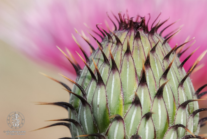 Unfurled flower head of a thistle (Cirsium neomexicanum).