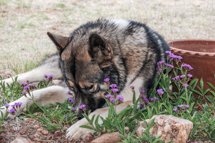 Hachi laying in the flower bed surrounded by purple blooms.