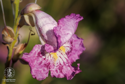 Closeup of a Desert Willow (Chilopsis linearis) flower.