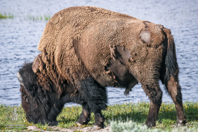 A Bison grazing by the water.