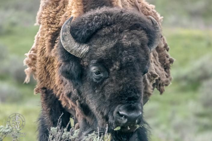 Disheveled Bison (Bison bison) shedding its Winter coat.