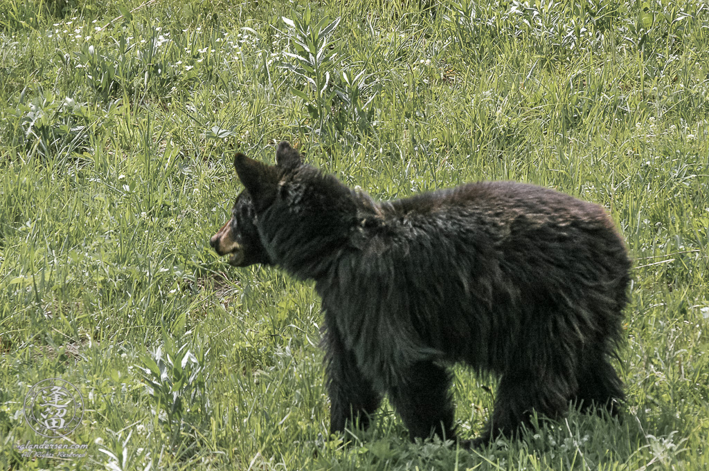 Nervous Black Bear (Ursus americanus) in meadow.