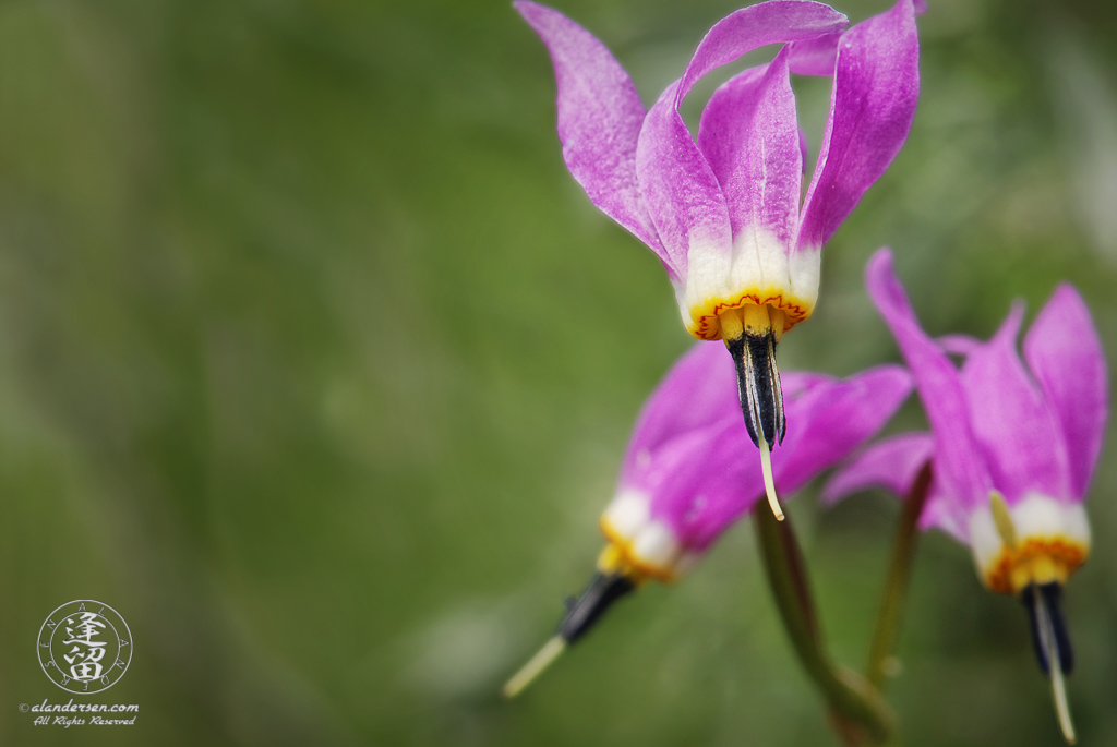 Pink Shooting Star (Dodecatheon conjugen) against a green background.