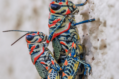 Mating pair of painted grasshoppers (Dactylotum bicolor) clinging to stucco wall.