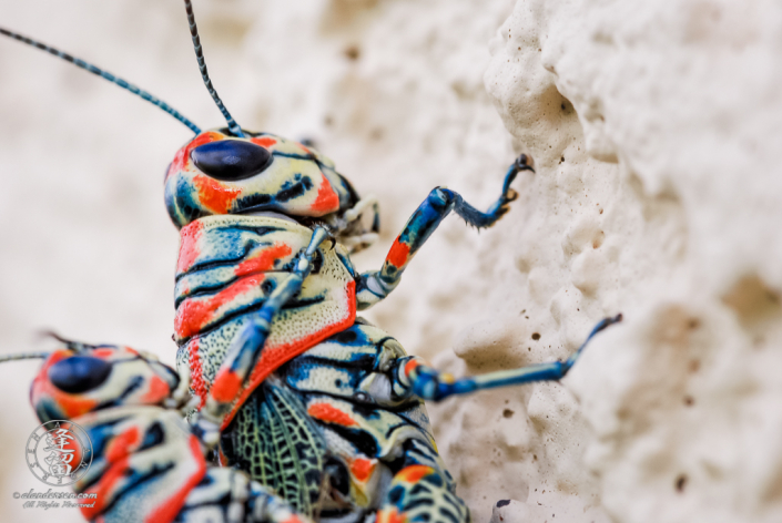 Closeup of Painted Grasshoppers (Dactylotum bicolor) on pale yellow textured stucco.