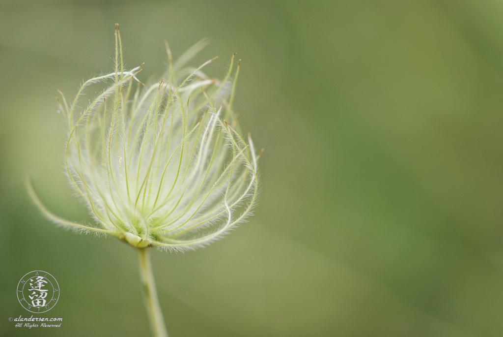 Feathery Apache Plume (Fallugia paradoxa) bloom.