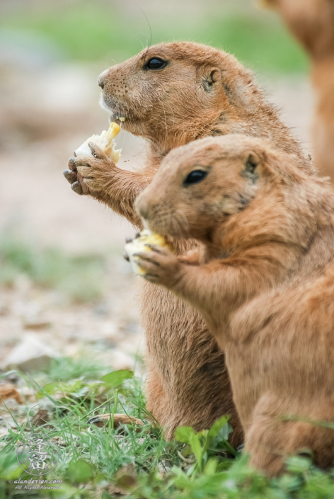 Black-tailed Prairie Dogs (Cynomys ludovicianus) standing together and eating corn.