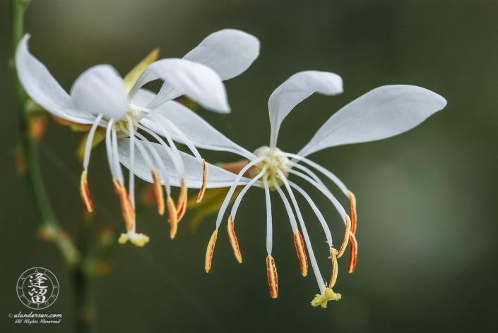 White Butterfly Guara (Gaura lindheimeri).