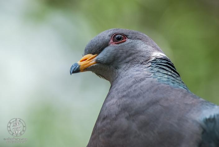 Band-tailed Pigeon (Columba fasciata) closeup profile portrait.