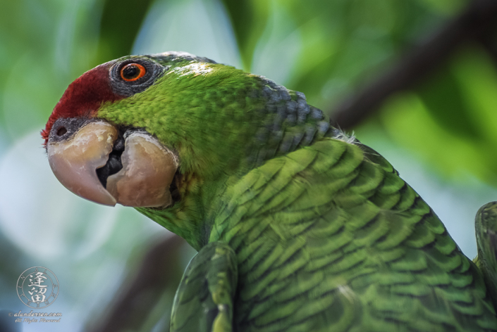 A Lilac-crowned Amazon (Amazona finschi), or Lilac-crowned Parrot, peering down from its perch in a tree.