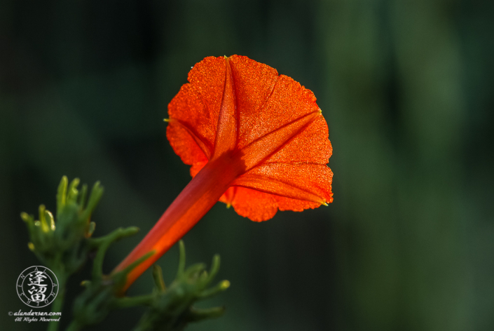 Back-lit underside of a Trans-pecos morning glory (Ipomoea cristulata).