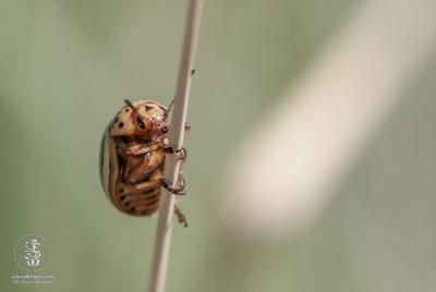 Colorado Potato beetle (Leptinotarsa decimlineata) climbing on grass blade.