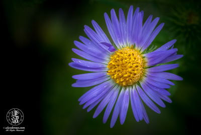 A little Aster wildflower with a bent petal.