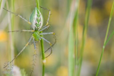Lynx Spider (Peucetia viridans) hanging upside down in green grass.