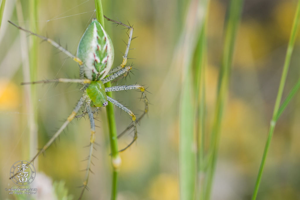 Lynx Spider (Peucetia viridans) hanging upside down in green grass.