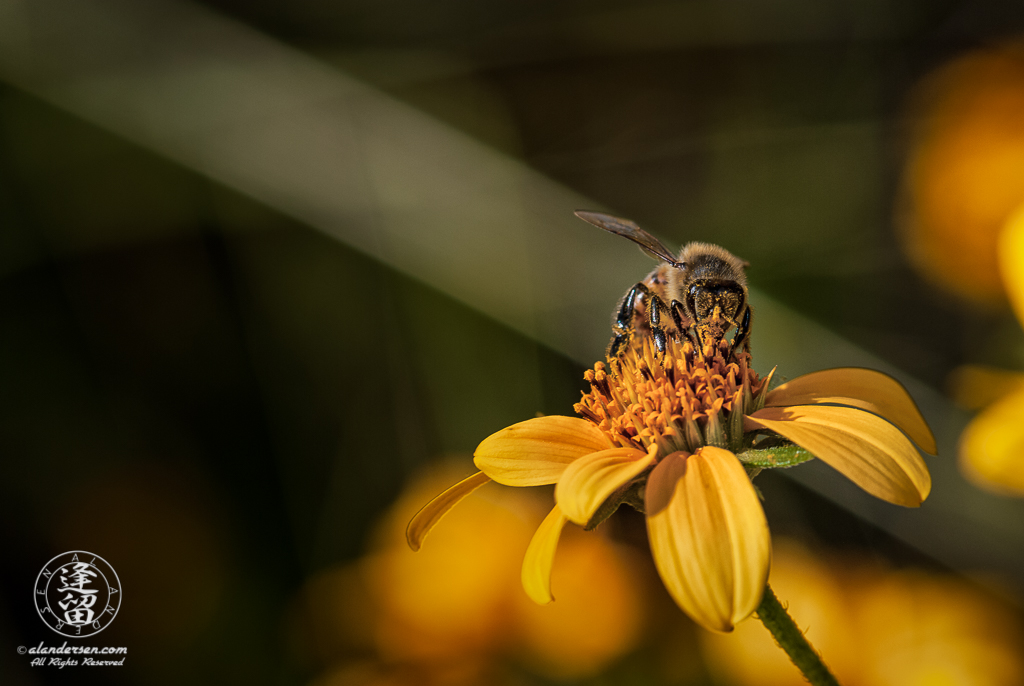 A closeup image of a pollen-covered bee gathering more pollen from atop a yellow composite wildflower.