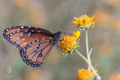 Queen Butterfly (Danaus gilippus) feeding on yellow composite wildflower.