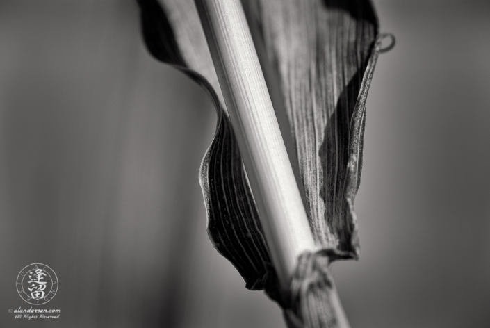 Closeup abstract of a dried grass stalk and its textured blade of grass.