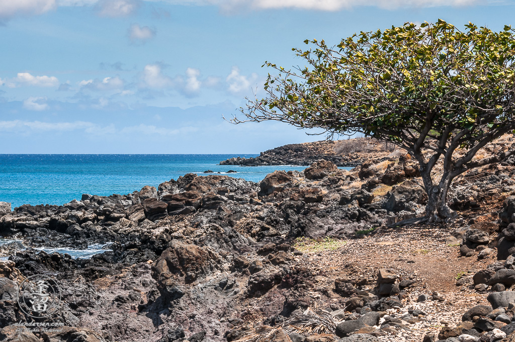 Lone tree dominates rocky volcanic shoreline of Lapakahi State Historic Park.