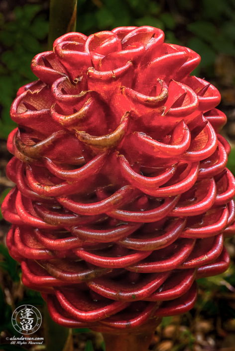 A Beehive (or Honeycomb) Ginger (Zingiber spectabile) at the Hawaii Tropical Botanical Garden on the Big Island of Hawaii.