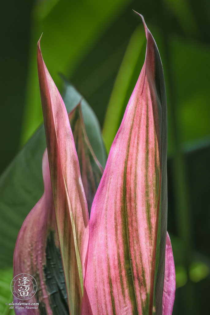Hawaiian Ti (Cordyline terminalis or Cordyline fruticosa).