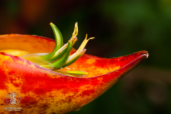 Orange Heliconia bloom set against green background.